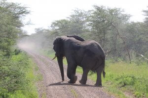 Elephant crossing the roald