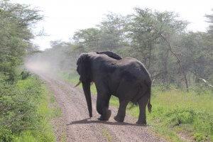 Elephant crossing the roald